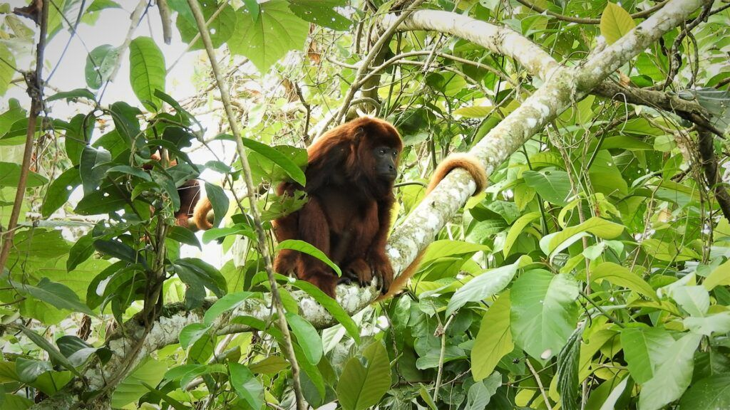 Colombian Red Howler Monkey used in the article Traveling Colombia. Is BnB Colombia Tours a Good Tour Option ?