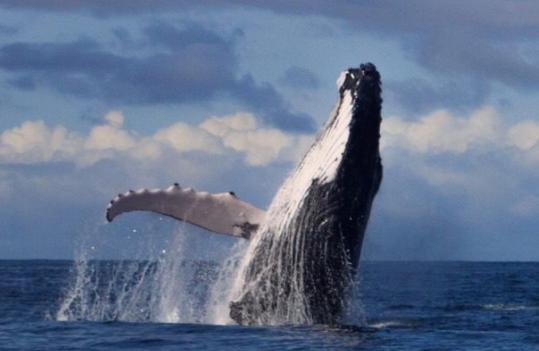 Photo of a whale breaching, used in the article, Best of Medellin, Cartagena and the Pacific Coast of Colombia