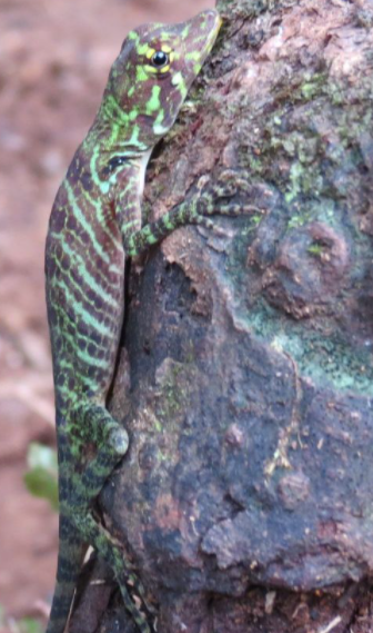 Photo of lizard near Nuqui Colombia, used in the article, Best of Medellin, Cartagena and the Pacific Coast of Colombia