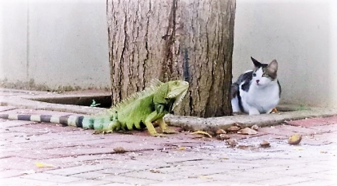 Cat and Iguana. used in the page South America Travel Photos and Comment Page.
