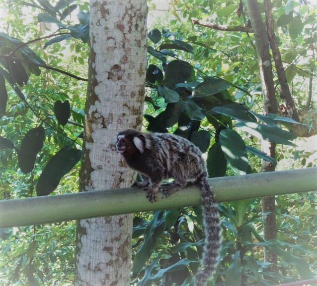 Monkey on a rail in Brazil. South America Travel Photos and Comment Page.