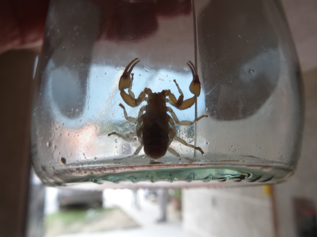 Scorpion in a jar. South America Travel Photos and Comment Page
